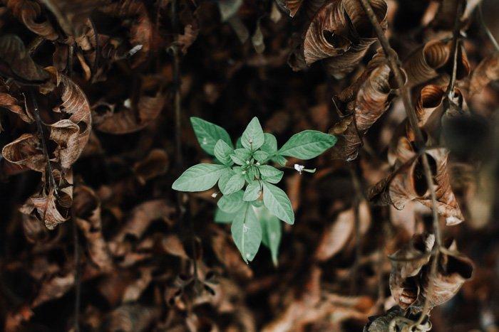 在棕色叶子中一个完全暴露的绿色植物的顶上的图象