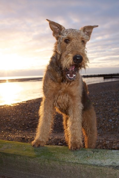 Photo of a dog on a beach with the sun going down in the background