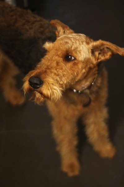 pet photo of adult Airedale terrier
