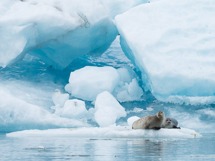 A wildlife photography portrait of two seals on an iceberg