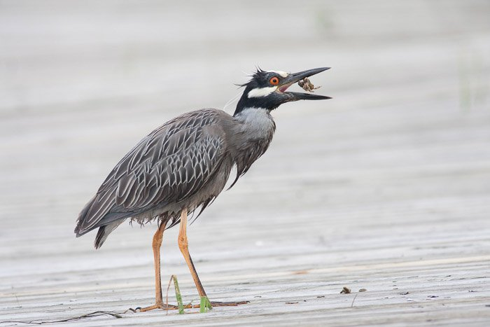 A wildlife photography portrait of a bird eating a fish
