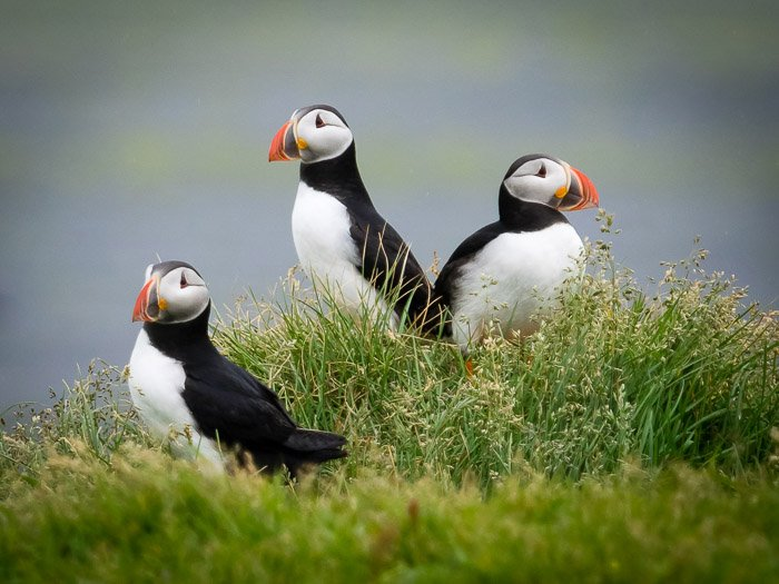 A wildlife photography portrait of three puffins resting on grass