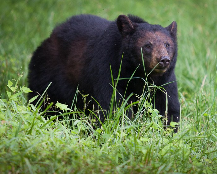 A wildlife photography portrait of a bear