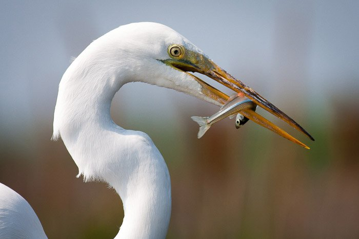 A wildlife photography portrait of a crane eating a fish