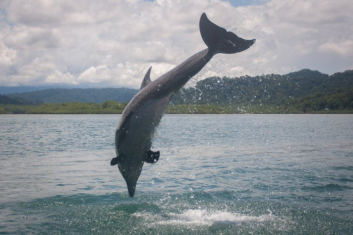 A wildlife photography portrait of a dolphin mid jump