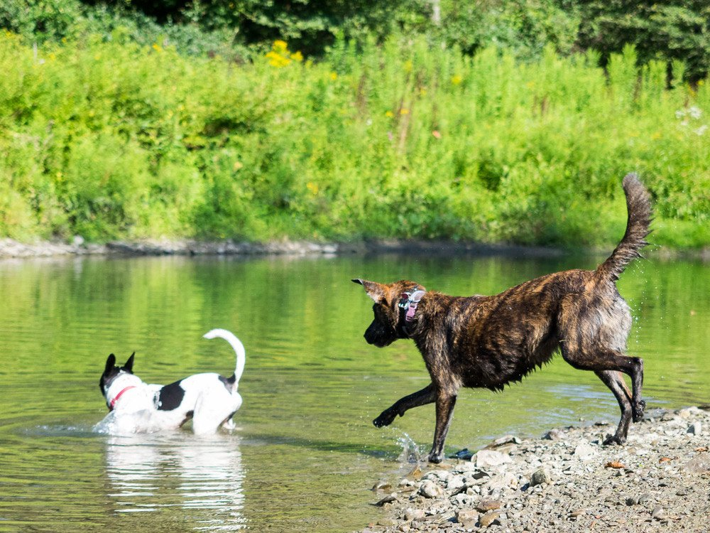 Photo of two dogs running into a lake with greenery in the background