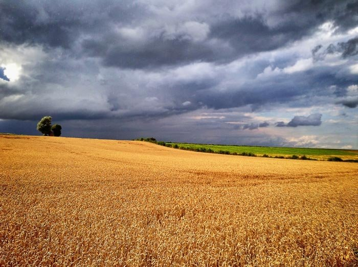 A wheatfield in stormy weather