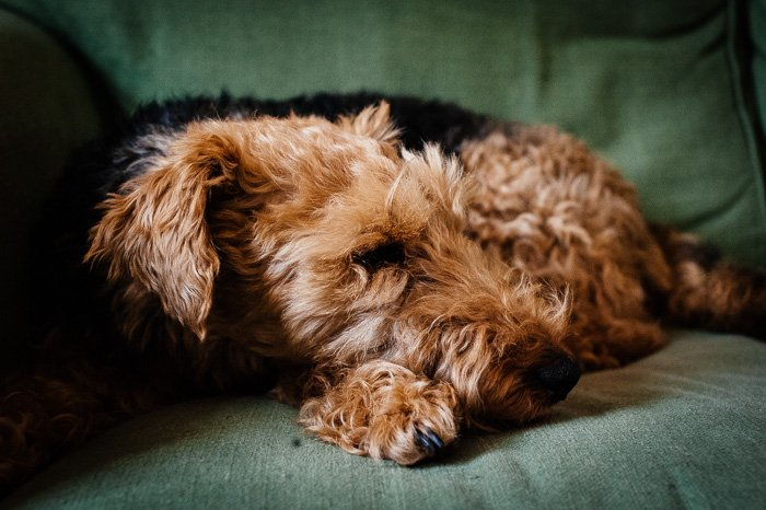 Cute pet photography of a brown dog on a couch shot with medium shallow focus