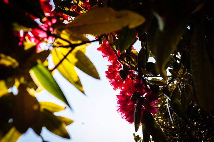 A close up of autumn leaves and colorful flowers shot with a 50mm lens
