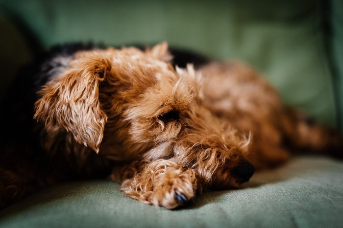 ute pet photography of a brown dog on a couch shot with shallow focus