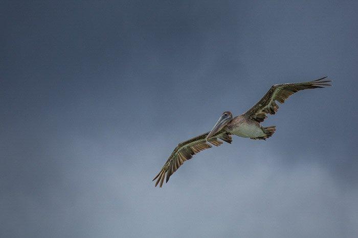 A large pelican bird in flight