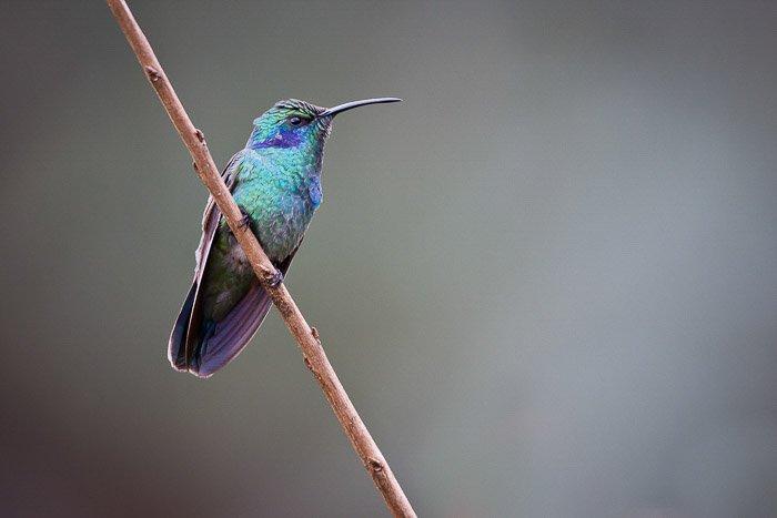 shallow focus shot of thin-beaked turquoise hummingbird