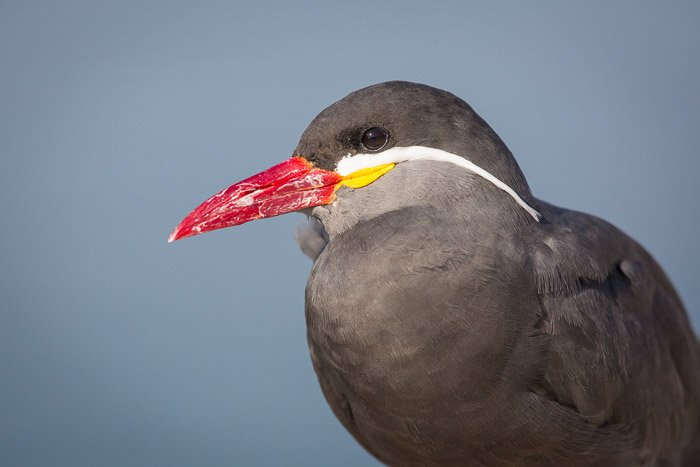 close-up of red-beaked bird