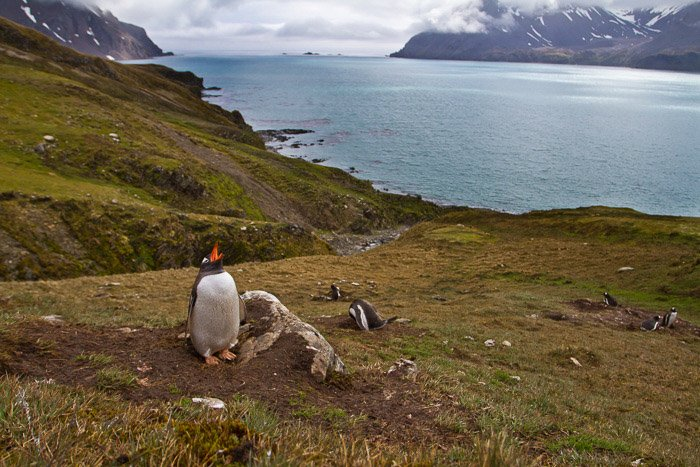 penguins in habitat with sea in background