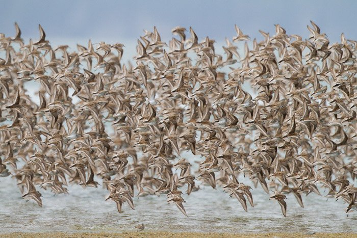 Photo of a large flock of birds in flight