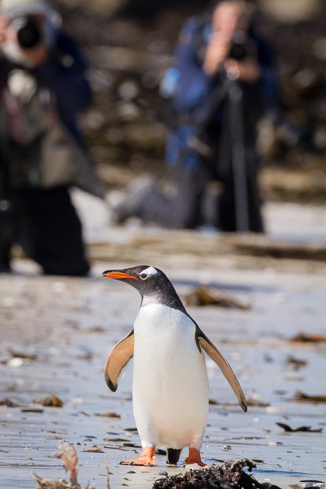 A bird portrait of a penguin with photographers in background