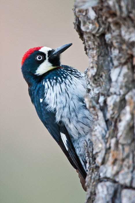 A black white and red feathered bird perched on a tree