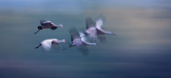 Four birds in mid flight with motion blur