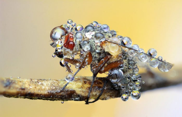 Macro Photography - Fly covered in dew drops in the early morning.