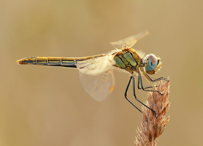 Dragonfly landed on tip of wheat stem, side view. Macro Photography example.