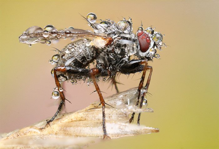 A macro Photography example of a housefly sitting on a stem of wheat beaded with dew.