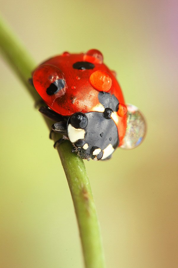 A ladybug or ladybird, beaded with dew and sitting on a plant stem. Macro Photography example.