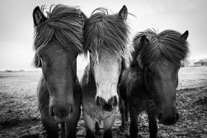 black and white photo of three horses, shot during Casey Kiernan's Iceland Photography workshop