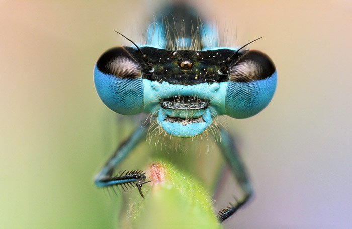 A dragonfly head with stunning blue eyes. Beautiful insect photography.