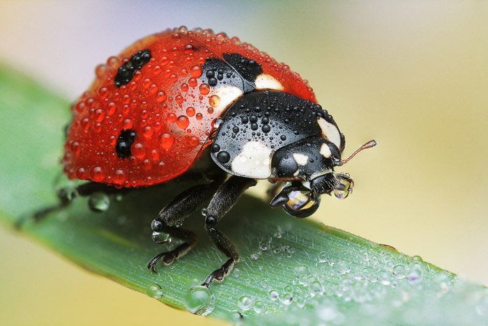 A ladybug or ladybird, misted and resting on a blade of grass.
