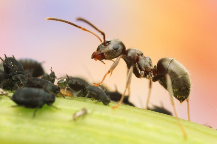 Ant standing on a leaf above smaller insects - Macro Photography Example