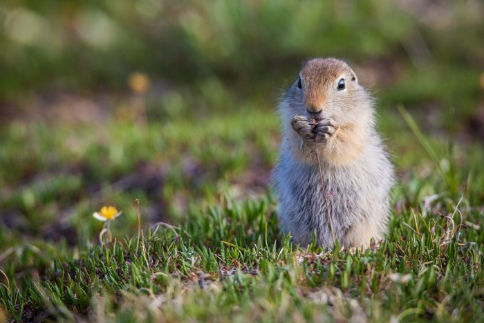 Wildlife photography of Arctic Ground Squirrel in Alaska