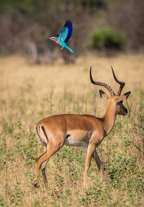 Gazelle and blue bird in Botswana