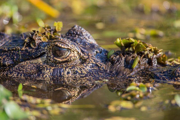 Extreme close-up of a crocodile swimming in a river