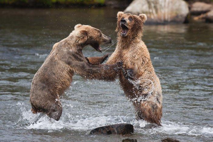 Two bears fighting in an Alaskan river