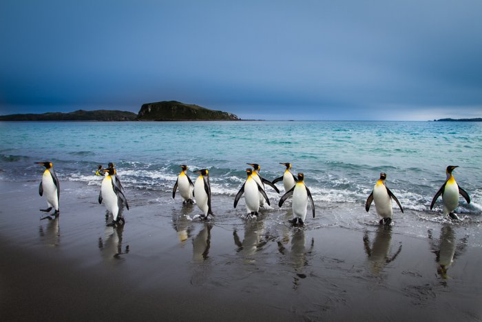King penguins coming out of the sea in South Georgia