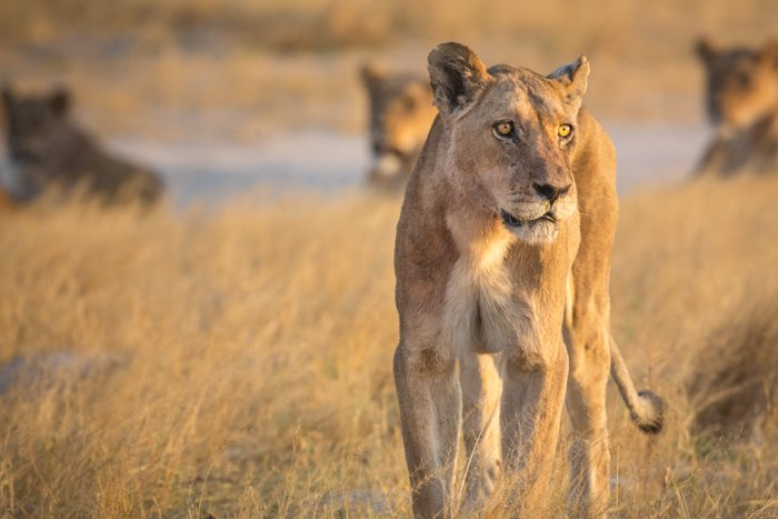 A lioness close-up in Botswana