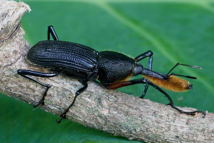 Mexican Tuxtlas Weevil - Wildlife Photography - David Shaw