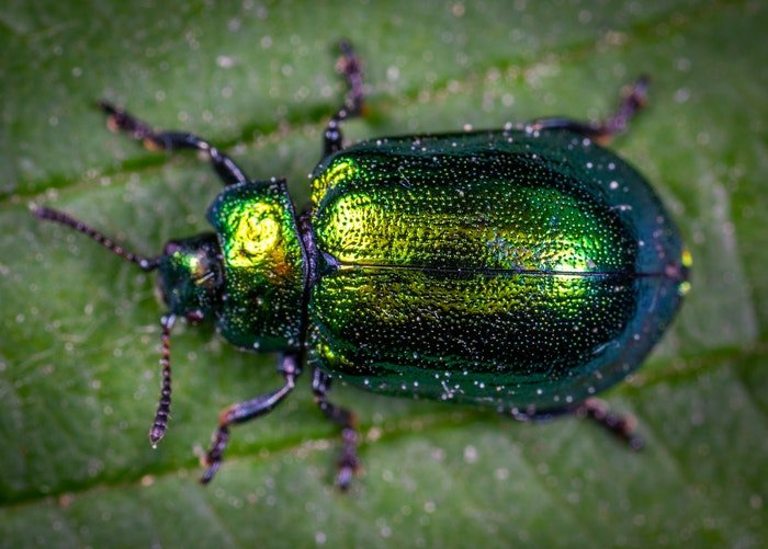 macro photography of green beetle on a leaf
