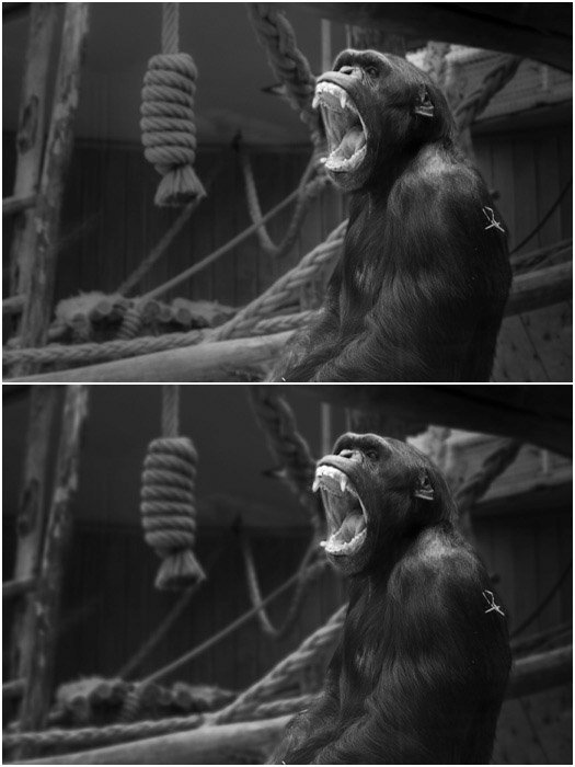 A before and after portrait of a monkey edited with Lightroom blur tool
