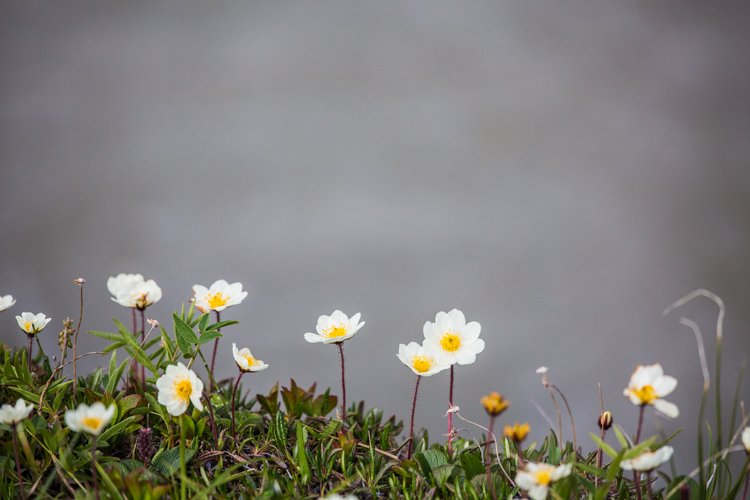 Smaller white flowers with a yellow middle in front of a grey blurred background