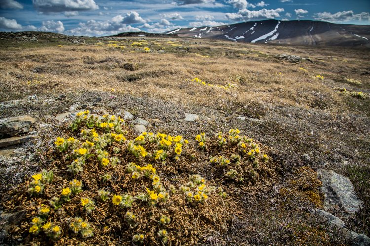 Yellow smaller flowers in a meadow with mountains in the background