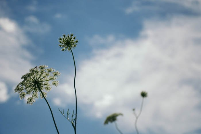 low perspective photo of ground elder flowers and the sky in the background