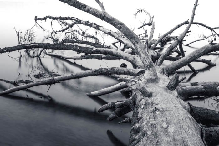 monochrome picture of the trunk and branches of a fallen tree without leaves