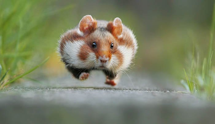 close up of a tiny hamster running towards the photographer's camera