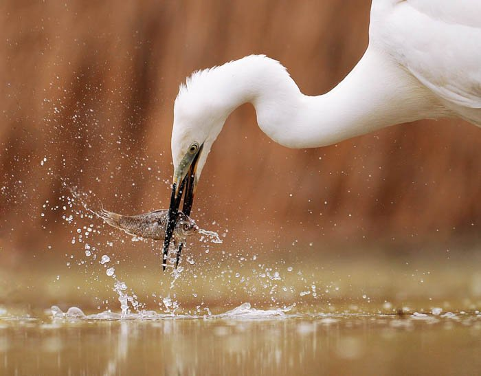 wildlife action photography showing a haron catching a fish