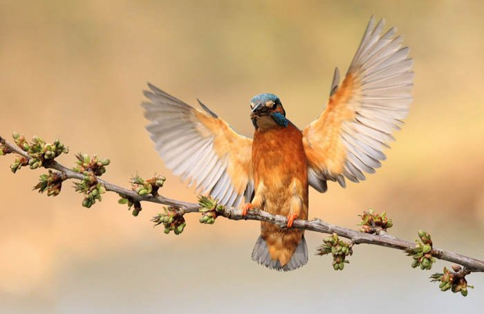 wildlife photography shot of a hummingbird with its wings outstretched