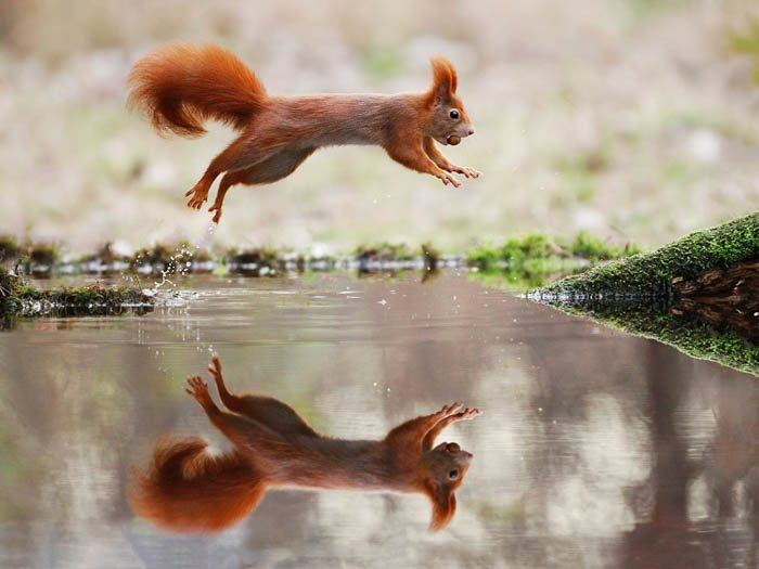 squirrel jumping over body of water, it reflection is visible in the water, and it is carrying a nut