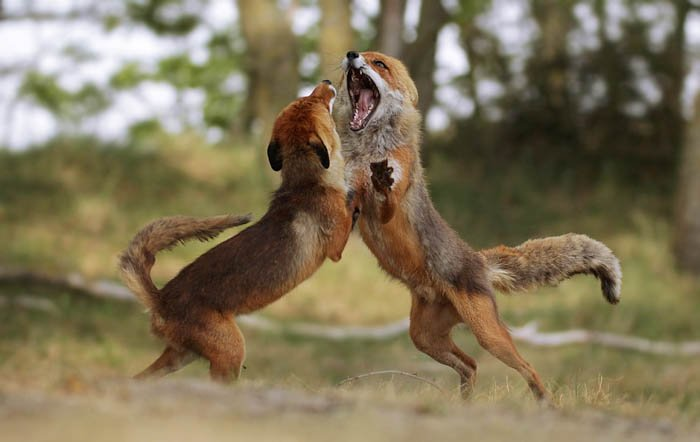 wildlife action photography of two foxes mi-fight over territory