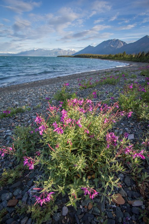 Pink wild flowers growing on the rocky shore of a river