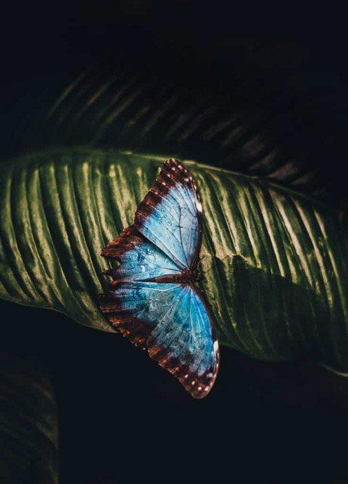 在叶子的一只美丽的大蓝色蝴蝶